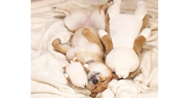 【いい夢見れそう♡】ぬいぐるみに挟まれて今にも眠りそうな柴犬。幸せそうな様子に癒される♪