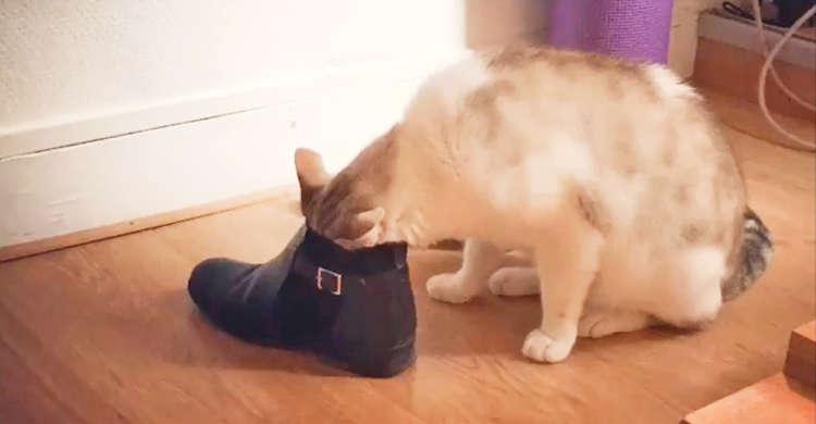 靴のニオイが気になって仕方がない♪ 顔を何度も出したりうずめたりするニャンコが、おもしろ可愛い♡