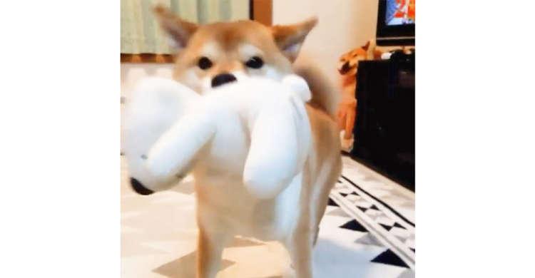 【おかえりの後は…】ぬいぐるみを咥えてお出迎えをした柴犬→このあと可愛い遊んでアピールが始まる♡