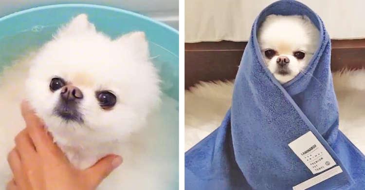 【お風呂に入るポメ】期待以上の姿を見せてくれる、もふもふポメラニアンのお風呂一部始終(*´ω`*)