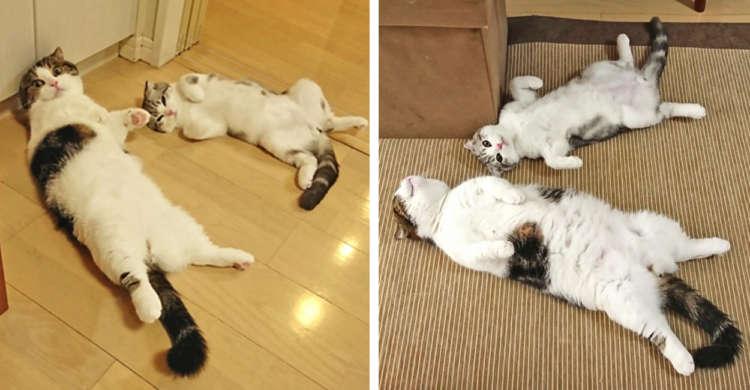 【2匹で仲良くへそ天♪】お兄ちゃんの真似をする弟ニャンコ。同じポーズの兄弟猫がかわいいと話題に♡