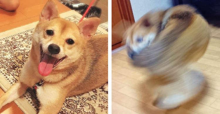 【まるでトルネード!】飼い主さんの帰宅をお出迎えしたワンコ → その動きがスゴすぎると話題に♪