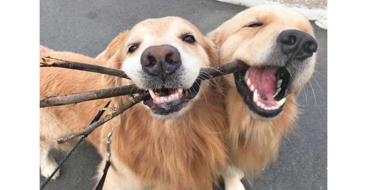 お散歩中に木の枝をGetしたワンコ親子♪ → ニコニコ顔で、一緒にパクッとする様子が…可愛すぎたっ♡