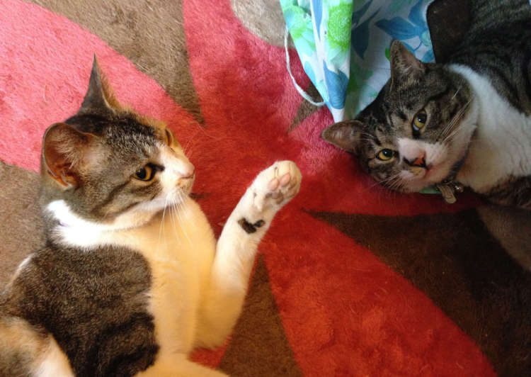実家で飼っていた猫たち。真理ちゃん(左)と鯖男くん