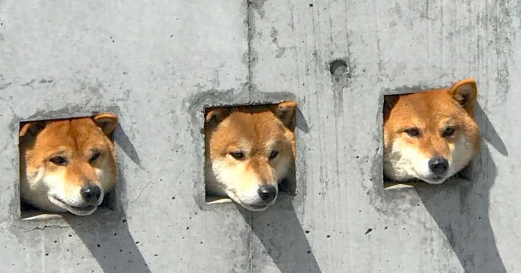 【自宅警備中です。】壁の穴から顔を出したワンコがカワイイと話題♡ その名も…壁柴三兄弟♪(´▽`)ノ