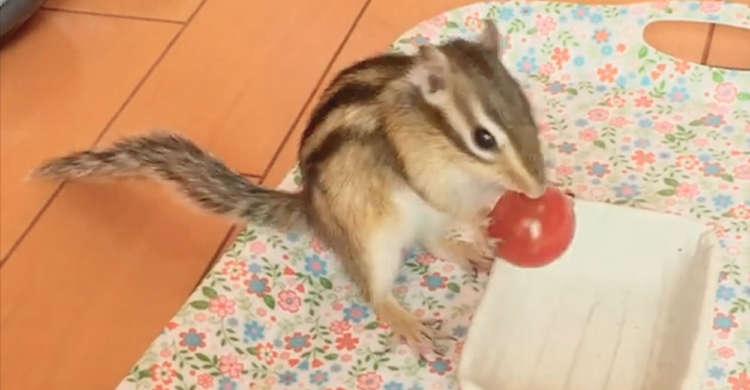 【見事につるんっ♪】プチトマトをもぐもぐ食べようとするシマリスさん → この後、思わぬ苦戦を…!
