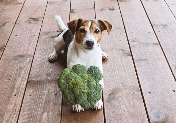【獣医師監修】犬がブロッコリーを食べて大丈夫?メリットや注意点、芯は食べてもいい?