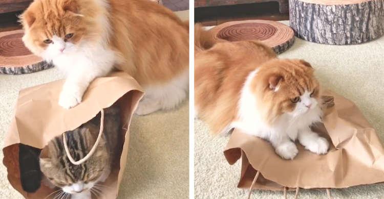 お兄ちゃんが入っている紙袋が、どうしても欲しい弟ネコ! → 強引にGetするけど…(;´・ω・)