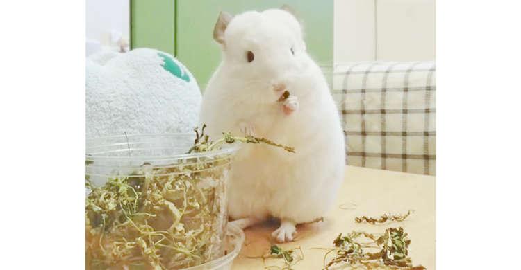 【ポイポイ祭り開催中】お花のつぼみを食べたくて、辺りを散らかすチンチラさん。その姿に…キュン♡