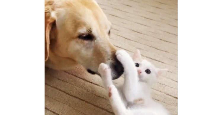 優しいワンコが、子猫のペチペチ攻撃を受け止める…♪ ずっと見ていたい二匹のじゃれ合い(*´ェ`*)