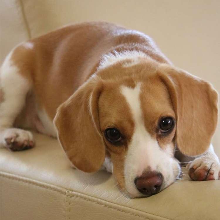 Image result for 犬 beagle 愛らしい目