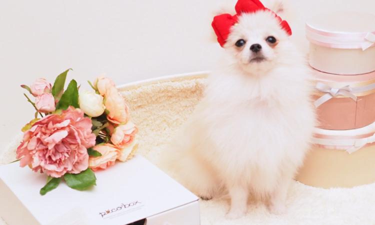 PECOBOXバレンタイン号、申込み受付スタート♪ 愛犬が喜ぶギフトについて、詳しく解説します!