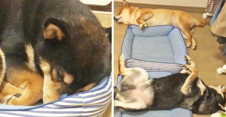 すやすや柴犬3兄弟♡ お行儀のいい長男と、自由すぎる弟たちの「犬それぞれ」な寝相…(*´艸`*)