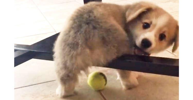 テーブルに足が引っかかり、ボールを追いかけられない子コーギーくん! 一生懸命に跨ごうとする姿が…♡
