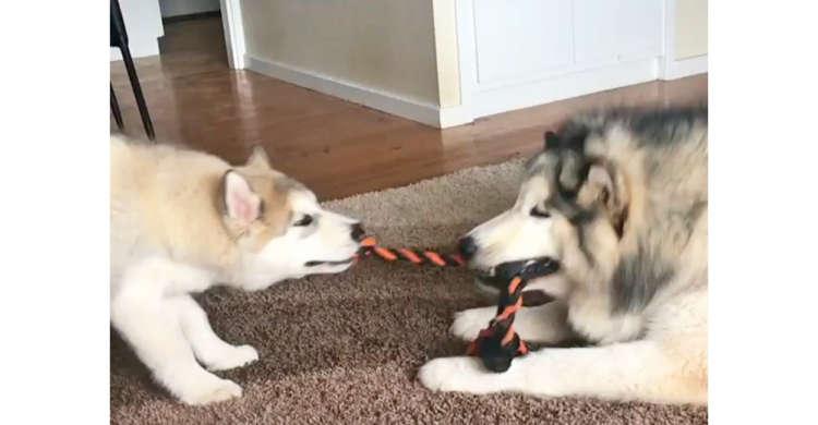 大きなワンコと子犬が綱引きで勝負! …と思いきや、子犬が『まさか!?』の動きで翻弄する( *´艸`)