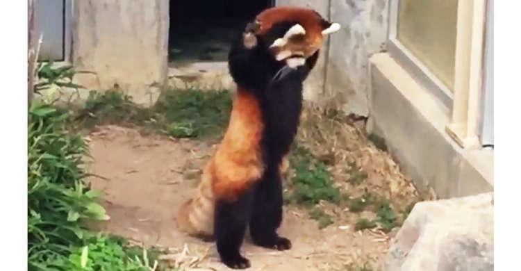両手を上げて…バンザイ!? レッサーパンダさんの『威嚇ポーズ』が、恋しちゃうくらいに可愛かった♡