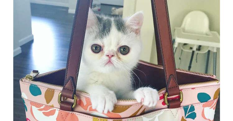 くりっくりの目にぺちゃっとした鼻♪ エキゾチックショートヘアの子猫に、つい夢中になる写真集♡(9枚)