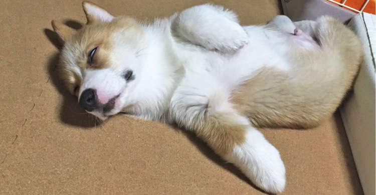 【白い目で…愛らしさ倍増!?】白目でスヤスヤ眠るワンコたちを、じっと見ていたくなる写真集♡ 9枚