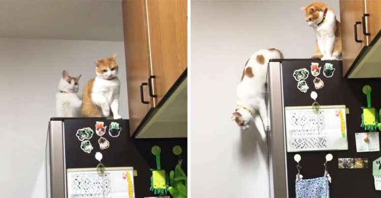 冷蔵庫から降りるのを戸惑うネコちゃんへ、ちょっかいを出すニャンコくん! → この後まさかの展開に…