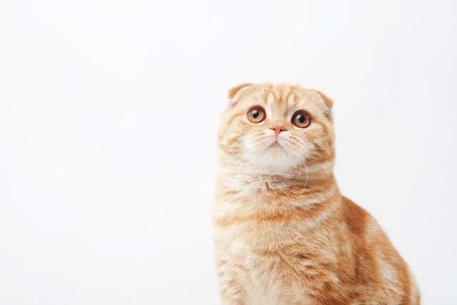 人気猫種「スコティッシュフォールド」のオーダーメイドぬいぐるみをご紹介します