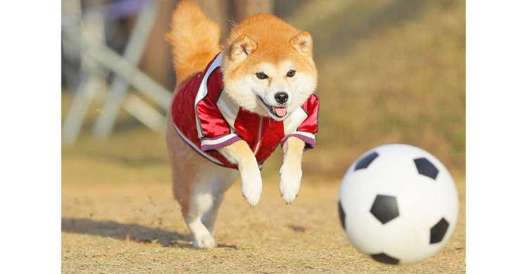 ウキウキ気分が止まらない! 飛び跳ねながら、楽しそうにボール遊びする柴犬ちゃんが可愛すぎた♡(7枚)