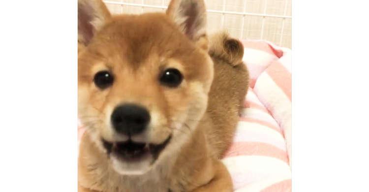 【レンズの前では女優!】カメラに気づくと、目をキラキラさせ近づいてくる柴犬ちゃんに…やられた♡