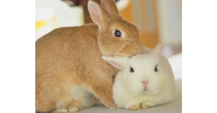 ペロペロしたり枕にし合ったり…♪ 思わずニヤける、仲良しなウサギさんコンビの日常にキュンっ♡ 8枚