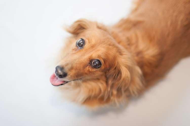 人気犬種「ミニチュアダックスフンド」をオーダーメイドで作成する!世界に一つだけのオリジナルぬいぐるみ