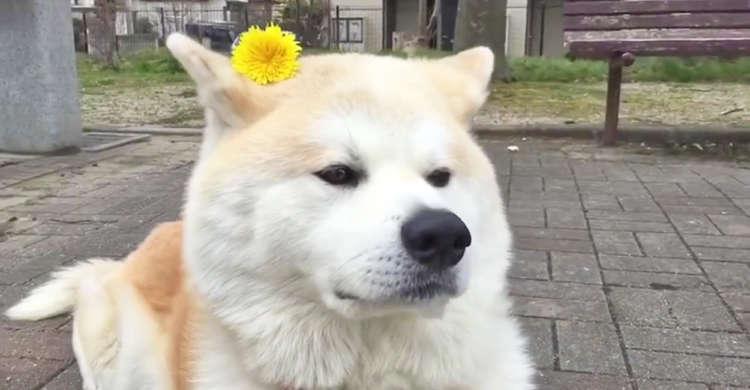 【春の予感♪】たんぽぽの花飾りをつけて、のほほ〜んな秋田犬。可愛すぎる姿に…心がポカポカする♡