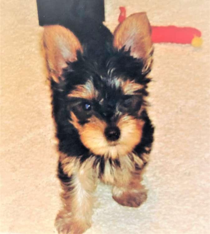 犬 ヨークシャーテリア 子犬 ヨーキー