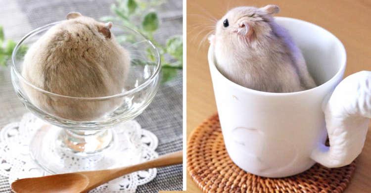 """【食べちゃいたいッ♡】ハムスターが…アイスクリームやコーヒーに!? 可愛すぎる """"おやつ"""" 写真集♪"""