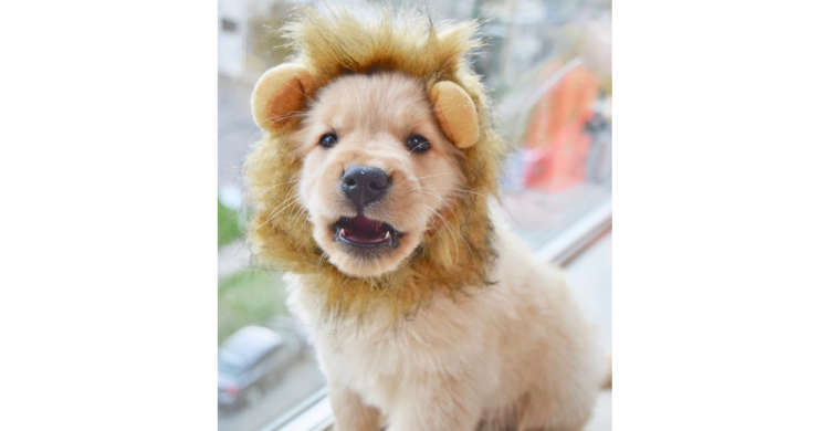 大都会の『百獣の王』♪ たてがみを着けたゴールデンレトリバーの子犬ちゃんが、激ヤバの可愛さだった♡