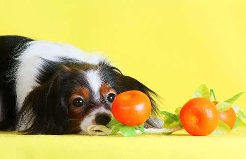 【獣医師監修】犬がみかんを食べても大丈夫!?外皮や薄皮、種をあげてもOK?適量は?