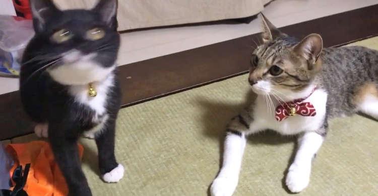 【見事なシンクロ!】オモチャにつられて首をフリフリする黒猫。その様子を見ていた、もう1匹が…♪