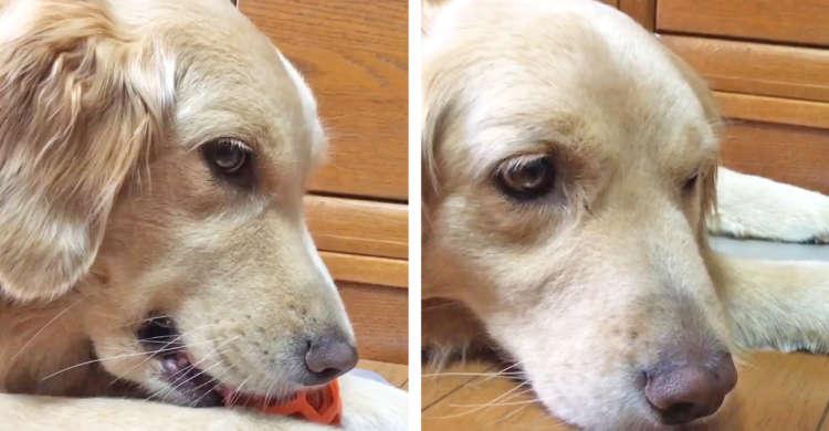 【表情の差】お気に入りのオモチャで楽しそうに遊ぶワンコ♪ → でも同居犬に取られると…(´・ω・`)