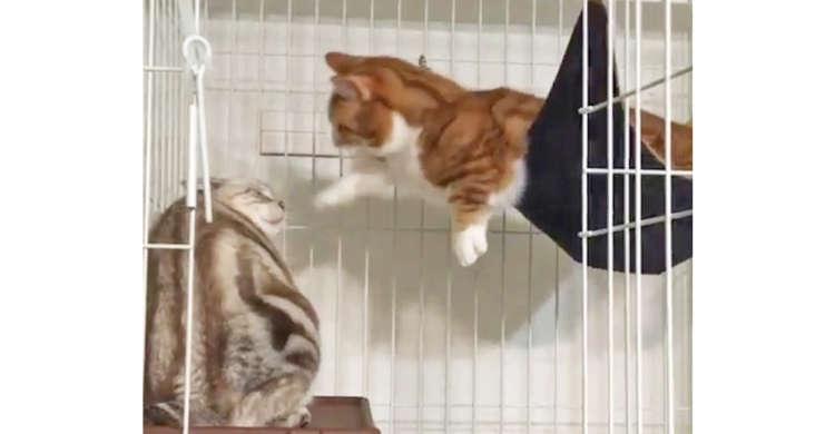 アメリカンショートヘアとマンチカンの猫パンチ対決 → 案の定、短いおてては無残にも空振りで…(笑)