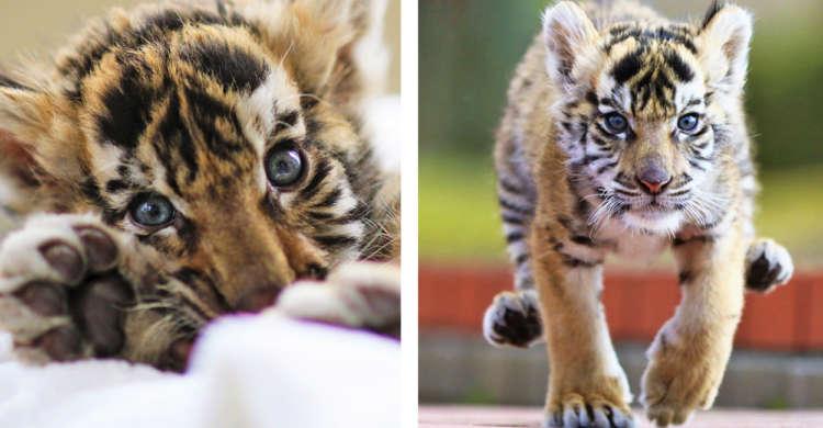 【サファリパークの新人】赤ちゃんトラが見せる、あどけない表情や元気いっぱいの姿に…やられた♡ 4枚