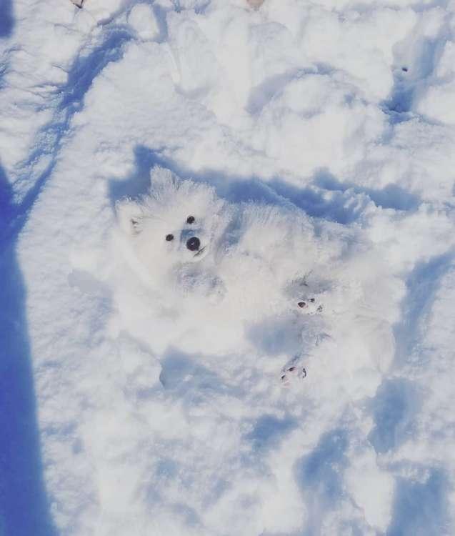 【雪原は友達だワン】真っ白な地面にテンション爆上げ! 雪の上でウキウキ全開なサモエド画像集♡ 8枚