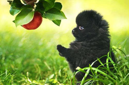 【獣医師監修】犬がりんごを食べても大丈夫?りんごの種やカロリーに注意!アレルギーは?