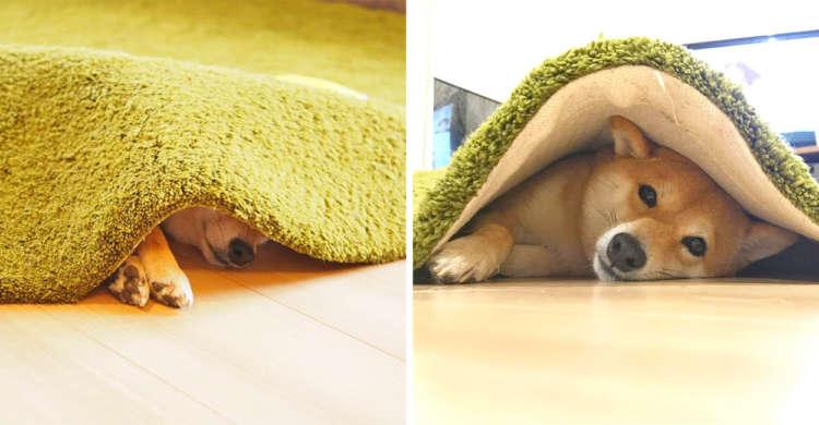"""【カーペットの下の住人】絨毯に挟まれてご満悦な柴犬。ご自慢の""""別荘""""で過ごす、まったりタイム♡ 8枚"""