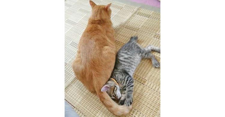 """【1度は起こされてみたい!】ペチペチ当てて子猫を起こす """"尻尾目覚まし"""" に、思わず和む(*´∀`)"""