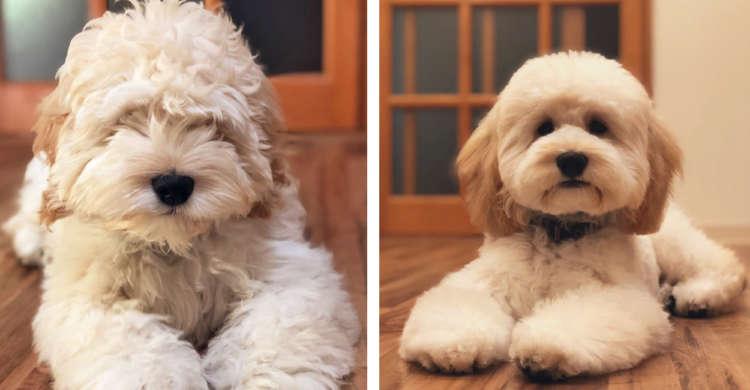 もしゃ毛に包まれた子犬さんが、初トリミング♪ その結果 → 別犬になっちゃいました(;´∀`) 5枚