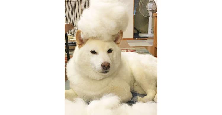 【ワンコ流の衣替え】換毛期を迎えた柴犬さん。冬→夏で生え変わる毛の量にビックリ( *´艸`)♪ 4枚
