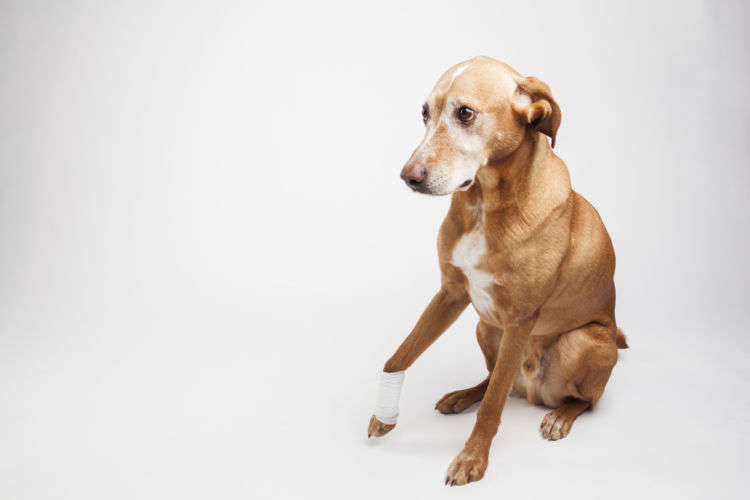 【獣医師監修】犬が足をかばう・あげる。この症状から考えられる原因や病気は?
