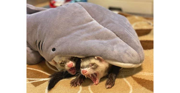 【決定的瞬間!?】サメさんに飲み込まれているように見える、フェレットたちが話題に…( *´艸`)♪