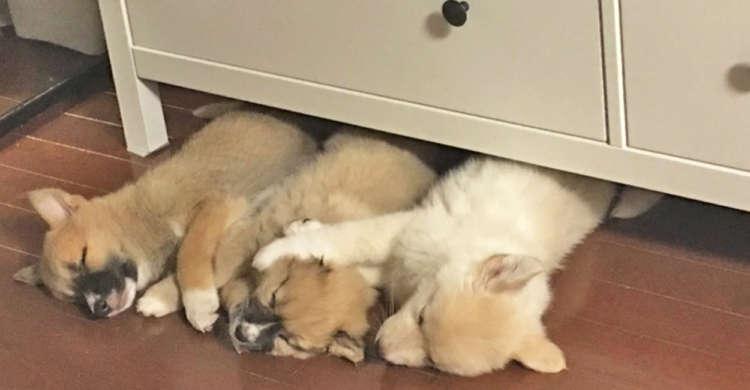 ケルベロスならぬ、寝るベロス! タンスの下で並んで眠る『地獄の番犬』ちゃんたちにキュンキュンする♡