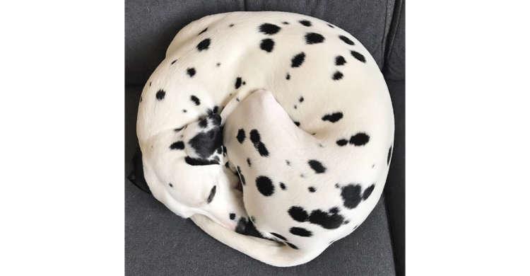【美しい寝相…】どこが頭でどこがお尻!? 小さく丸くなって眠るダルメシアンが可愛すぎた♡(5枚)