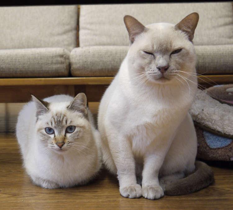 シャム系ミックスのもも君(左)とラファ君