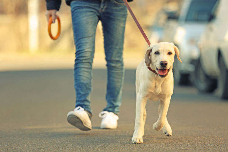 散歩のときに強く引っ張る犬の癖をなおして、うまくリードするコツとは?