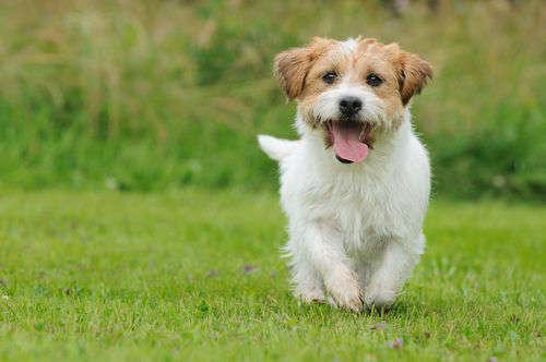 【獣医師監修】犬がフラフラ歩いている。この症状から考えられる原因や病気は?
